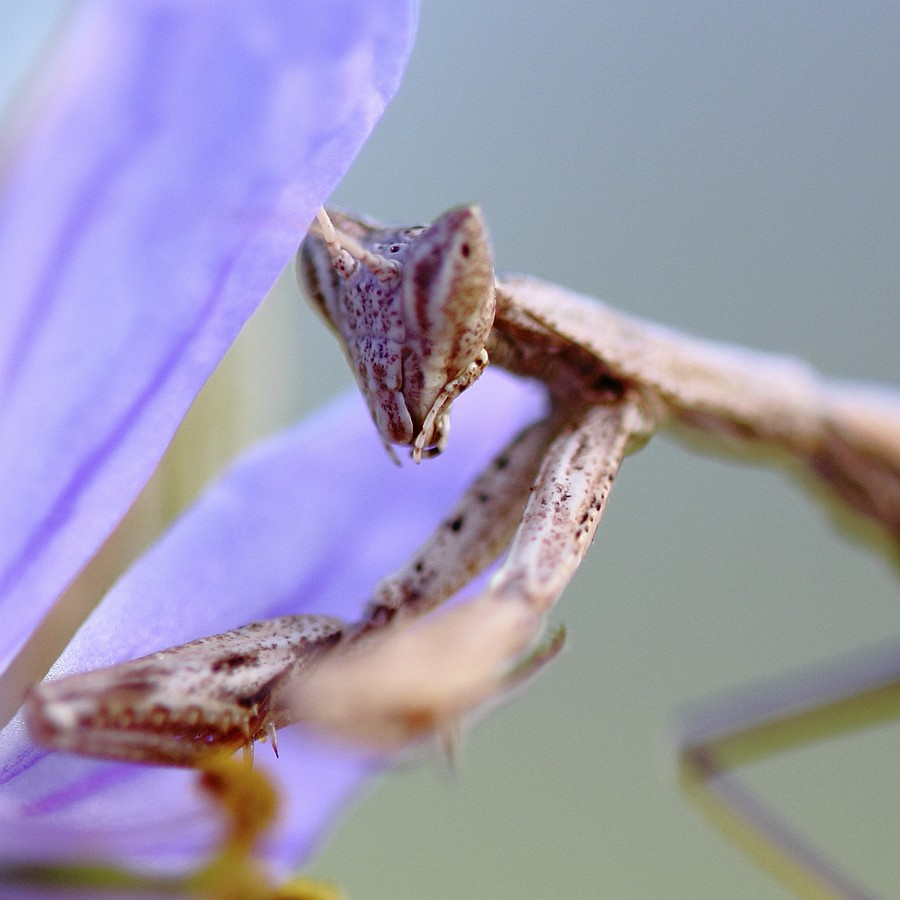 Portrait of Praying Mantis - photograph by Smadar Barnea. cat # E20-1503-14-4315