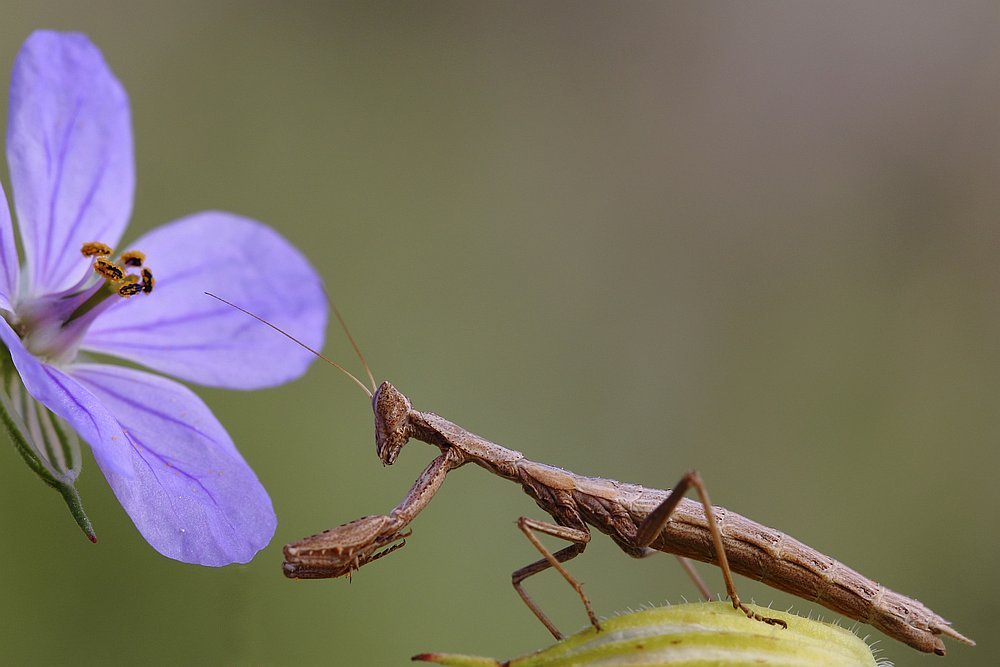 Mantis Praying to Blue Flower - photograph by Smadar Barnea. cat # E20-1503-14-4333