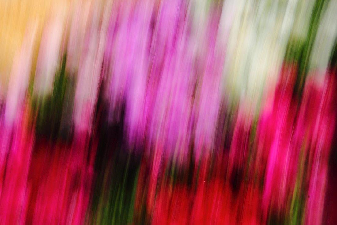 'משיכות מכחול' סגול-ורוד-אדום | צילום אמנותי מאת סמדר ברנע | מק''ט E20-1504-14-4425